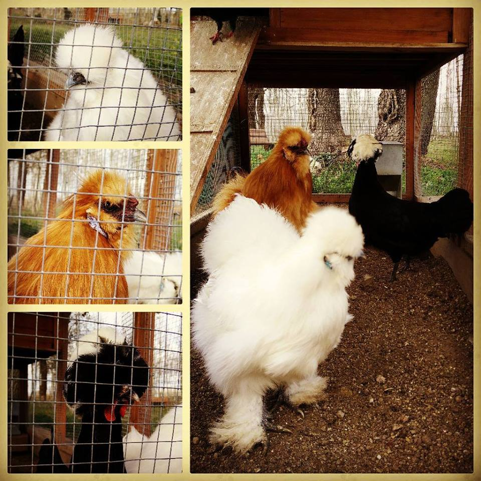 gallines animals picnic les 3 flors