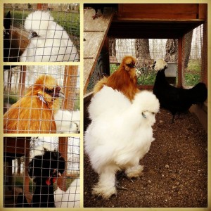 gallines originals animals picnic les 3 florss